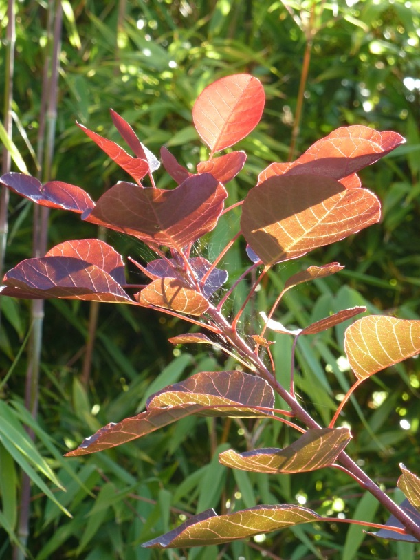 Cotinus for Twitter